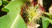 La date de floraison du maïs, c'est le jour où la moitié des plantes ont des soies visibles à l'aisselle des feuilles. CP : Nicole Cornec