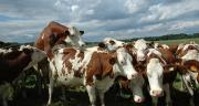 L'investissement économique dans un détecteur automatique de chaleurs n'est pertinent que pour les grands troupeaux. Photo: E. Thomas/Pixel image