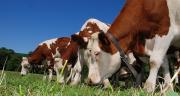 La collecte de lait bio devrait passer de 500 millions de litres à 900 millions de litres d'ici deux ans.