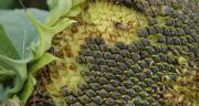 Les tourteaux de graines de tournesol sont plutôt riches en méthionine et en lysine.