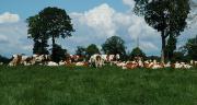 D'après les données de la BDNI, le cheptel de vaches laitières au 1er octobre 2013 était en hausse de près de 1% par rapport à octobre 2012. Le cheptel de génisses laitières est également en hausse (+0,7 %).