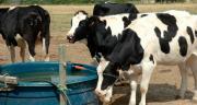 L'eau doit être disponible en qualité et en quantité. La recommandation est de 8 à 10 cm de points d'eau par vache. CP : Pixel6TM
