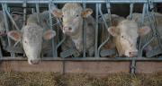 Pour un bâtiment de 200 jeunes bovins, le temps de préparation et de distribution de la ration est presque doublé avec une désileuse par rapport à une mélangeuse.