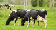 Dans le cadre du projet européen Prolific, des scientifiques ont identifié un gène du tissu adipeux qui pourrait être impliqué dans la baisse de fertilité des vaches laitières ayant les meilleures productions de lait, comme les prim'holstein. © N. Chemineau/Pixel Image