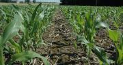 Plus de 80 % des parcelles de maïs fourrage reçoivent une fumure organique : un intérêt économique et environnemental appréciable.