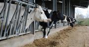 Les vaches ayant reçu la ration complexe ont moins ingéré et donc moins produit de lait, conséquence probable d'un encombrement supérieur de la ration complexe et donc d'un apport énergétique quotidien moindre. Photo : N.Tiers/Pixel Image