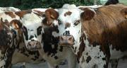 On compte en France deux millions de bovins normands. Il s'agit de la 3e race laitière française, ce qui permet à l'enseigne Flunch de disposer d'un volume conséquent.