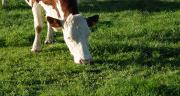Surpâturage, sous-pâturage, piétinement des animaux dans de mauvaises conditions peuvent dégrader la prairie. Le diagnostic prairie permet d'identifier les causes de dégradation et de les corriger avant de ressemer. Photo : N.Tiers/Pixel Image.