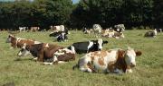 Les élevages bovin lait se différencient des élevages conventionnels par un taux plus importants  notamment de races croisées (ici race normandes et holstein évoluent vers la race Simmental par absorption).