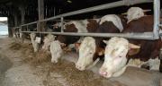 Le recul global de la production de viande bovine en France en 2018 découlera notamment de la baisse des volumes de taurillons abattus.