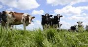 La composition en acides gras de la matière grasse du lait dépend de différents facteurs dont l'alimentation. © A.Cotens/Pixel image
