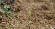 Des essais comparatifs menés par Horsch montrent que la levée homogène des pieds, conditionnée par la pression appliquée sur l'élément semeur, est l'un des paramètres les plus importants afin de maximiser le rendement futur du maïs. Photo : ©C.Milou/Pixel6TM.