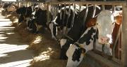 L'analyse des acides gras du lait va permettre aux éleveurs laitiers de corriger rapidement la ration. Les résultats du prélèvement sont connus en trois jours. ©Photo : H.Flamant/Terroir Est
