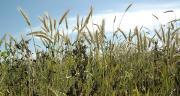 Les essais réalisés depuis 2011 dans le cadre du Pojet Reine Mathilde concernent les associations de céréales, protéagineux et leur intérêt pour la fauche, l'ensilage et les rations alimentaires.