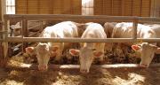 L'unité Bioepar de l'Inrae a conçu un algorithme permettant d'optimiser les distances de transport des jeunes bovins. ©Pixel6TM