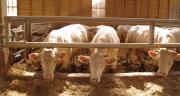 À partir du 21 avril 2021, les animaux devront être vaccinés contre la FCO au moins 60 jours avant leur départ. ©Pixel6TM