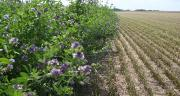 Selon l'étude menée par Coop de France Déshydratation, les populations d'oiseaux, de papillons ainsi que la production de miel sont très nettement supérieures dans les champs de luzerne aménagées (de 2 à 10 fois plus d'oiseaux des plaines et de papillons et des ruches 2 fois plus productives). Photo : DR
