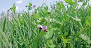 Retrouvez notre dossier spécial méteil dans le numéro 718 de Cultivar Élevage.