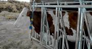 La démocratisation des puces RFID permet d'identifier les vaches en routine : c'est la base de toute démarche de monitoring. CP : A.Coronel/Terroir Est.