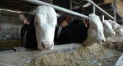 Engraissement des jeunes bovins : une conduite de précision. CP : Alexandre Coronel/TerroirEst