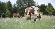 Même si il n'y a pas de corrélation entre qualité et environnement, allier qualité du lait et performance environnementale serait possible. A.Cotens/pixel images