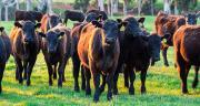 Accord UE-Océanie : quels risques pour les viandes européennes ? ©nilsversemann/AdobeStock
