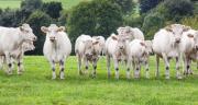 Les cours des jeunes bovins sont toujours à la peine. CP : Friedberg/Adobe Stock