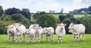 Les cours des jeunes bovins piétinent. ©Friedberg/AdobeStock