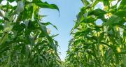 Varmaïs : un site Internet pour choisir sa variété de maïs. CP : AdobeStock/ananaline