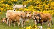 Arterris lance Occitalia pour un bœuf occitan haut de gamme. CP : AdobeStock/Louis-Michel DESERT