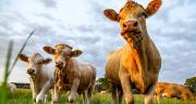 La forte demande pour la viande bovine française soutient les cours des vaches sur le dernier mois (S6 à S9). ©Robert Leßmann/Adobe Stock