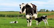 """""""La présence de vaches nourrices en première saison de pâturage semble avoir un effet protecteur vis-à-vis des strongles gastro-intestinaux"""", explique Caroline Constansis. ©Diane/AdobeStock"""