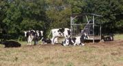Le stress thermique peut avoir un impact sur la productivité des vaches laitières de plusieurs manières, notamment en réduisant l'ingestion et la production de lait, et en affectant les performances de reproduction. CP : AdobeStock/oceane2508