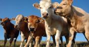 Les cours des bovins continuent de progresser. CP : AdobeStock/yannick vincent