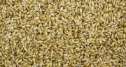 Si l'humidité est inférieure à 20% et les germes inférieurs à 1 cm, la conservation en grain sec est toujours possible. Au-delà, il faudra ensiler le grain. © Rokfeler/AdobeStock