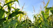 Pioneer, la marque semences de Corteva, a souhaité tester différentes génétiques de maïs fourrage selon leur empreinte environnementale. Coco/Adobe stock