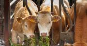 Plus de la moitié des jeunes bovins français sont valorisés à l'export. © AdobeStock/Unclesam