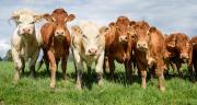 La production de viande bovine française en baisse de 1 % en 2021. ©cspictures/Adobestock