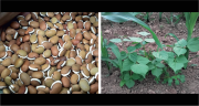 Pour diminuer la part de tourteau de soja dans les rations, Semental commercialise des légumineuses tropicales en association avec des maïs. © DR