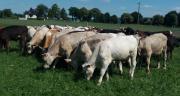 La ferme d'innovation et de recherche des Bouviers (56) compte un atelier consacré à la valorisation de la viande issue du troupeau laitier dans des schémas de production basés sur les fourrages et sur la prairie. CP: Idele