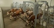 La SmartWay 90 ( BouMatic), un concept d'entrée et de sortie des vaches sans stress qui assure une meilleure cadence. Photo : DR