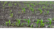Avec le retrait du Sanido®, les agriculteurs vont devoir s'adapter pour lutter contre le taupin lors des semis de maïs.