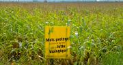 Depuis deux-trois ans, les dégâts de pyrales sont de plus en plus présents même en maïs fourrage.