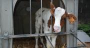 La cryptosporidiose est l'une des premières causes de diarrhées néonatales chez le veau. © N.Tiers/Pixel6TM