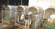 La paratuberculose est une maladie de l'intestin des bovins, contagieuse, chronique et incurable. CP : DR.