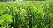 Le semis de prairie sous couvert une technique 100 % gagnante pour l'éleveur ! CP : ferme expérimentale Thorigné-d'Anjou.