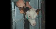 Écornage des veaux facile, efficace et sans douleur. ©A.Coronel/TerroirEst