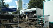 La conduite mise en place avec deux paddocks par 24h a permis aux vaches de circuler librement entre le robot de traite mobile et les pâtures. Photo : D. Bodiou/ Pixel Image