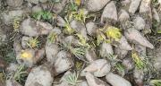 En 2013, la teneur en matière sèche des betteraves fourragères est stable sur les différents sites d'essais avec un taux moyen de 15,2%.