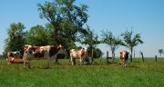 Un faible intervalle entre traites a peu d'impact sur la production laitière.